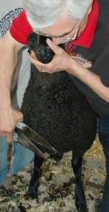 mdsw2009_sheep2